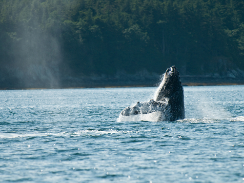 Juneau Alaska / USA Whale Watching Trip Prices
