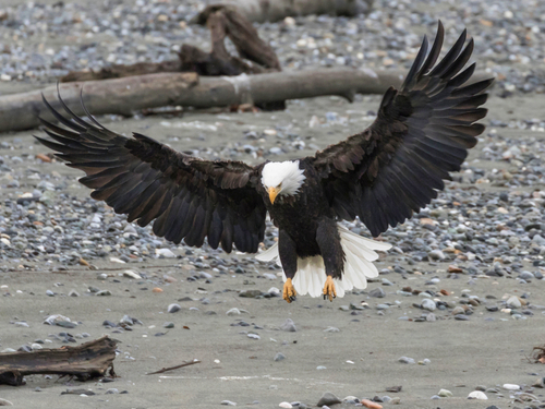 Haines Bald eagle Preserve Tour Prices