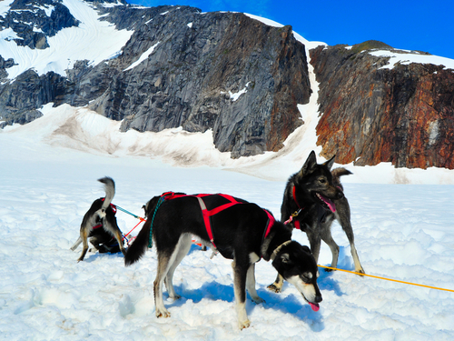 Juneau dog sled Excursion Booking