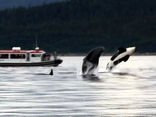 Juneau Alaska whale sightseeing Cruise Excursion Tickets