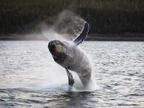 Juneau Alaska whale sightseeing Shore Excursion Booking