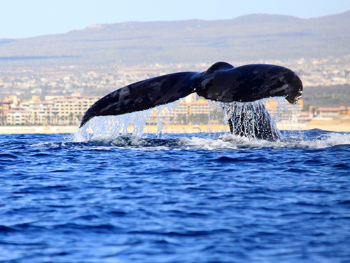 Cabo San Lucas Baja whale watching Trip Tickets