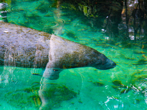 Belize manatee Boat Shore Excursion Reservations