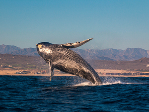 Cabo San Lucas Up Close Whale Watching Excursion