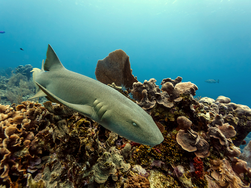 Belize City snorkeling at Shark Ray Alley Trip Tickets