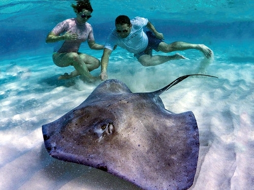 Grand Cayman swim with stingrays Cruise Excursion Tickets