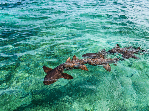 Belize City snorkeling at Shark Ray Alley Excursion Booking