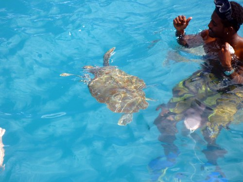 Barbados  West Indies (Bridgetown) swim with sea turtles Tickets