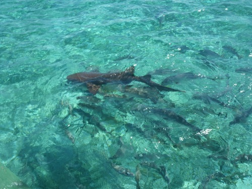 Belize  Belize City Shark Ray Alley Tickets