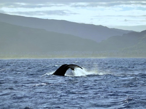 Oahu (Honolulu) Humpback whale Cruise Excursion Cost