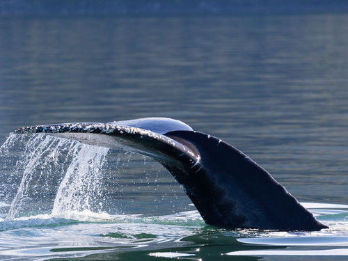 Juneau whale watching Shore Excursion Booking