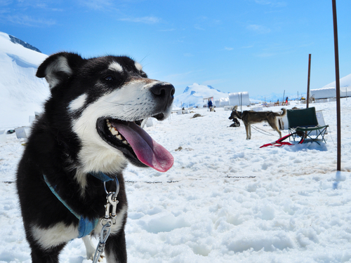 Juneau Alaska helicopter and dog sled Shore Excursion Cost