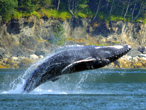 Juneau Alaska whale watching Cruise Excursion Reviews