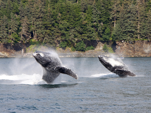 Juneau Whale Watching and Salmon Bake Excursion