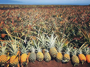 Kahului Maui Gold Pineapple and Iao Valley Excursion