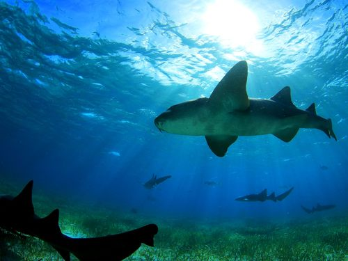 Belize shark ray alley snorkel Excursion Tickets