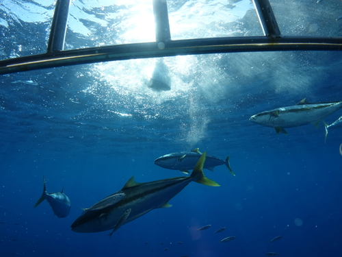 Oahu (Honolulu) Hawaii Tiger shark Cruise Excursion Reviews