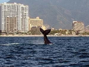 Puerto Vallarta Whale Watching and Banderas Bay Cruise Excursion