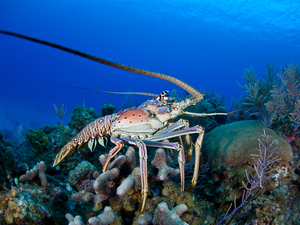 Roatan Lobster City Snorkel, Iguana Farm and Island Sightseeing Excursion