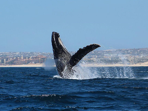 Cabo San Lucas humpback whale Shore Excursion Reservations