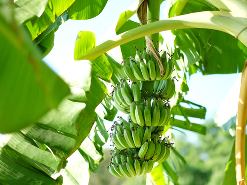 St. Lucia (Castries)  West Indies banana platation Excursion Booking