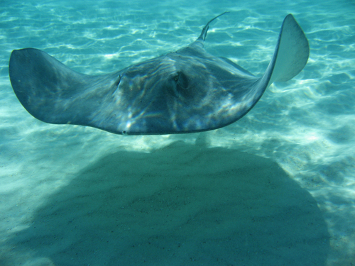 Grand Cayman stingray encounter Cruise Excursion Tickets