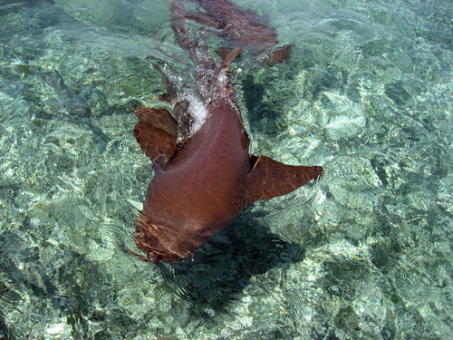 Belize snorkeling at Shark Ray Alley Cruise Excursion Cost