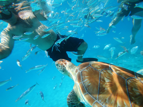 Barbados swim with sea turtles Reservations