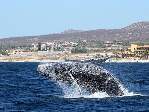 Cabo San Lucas Mexico humpback whale Trip Tickets